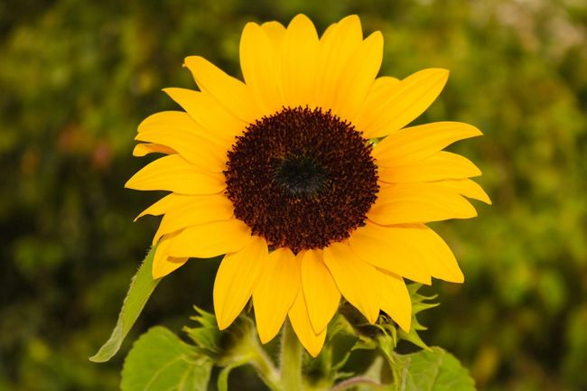 Flower Yellow Fragility Petal Beauty In Nature Flower Head Nature Freshness Growth Pollen Sunflower Outdoors Close-up Blooming Focus On Foreground No People Field Day Plant Nature_collection Helianthus Girassol