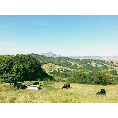 Local watering hole. VSCO Vscocam Lastrampas SanRamon california hiking cows ebrpd