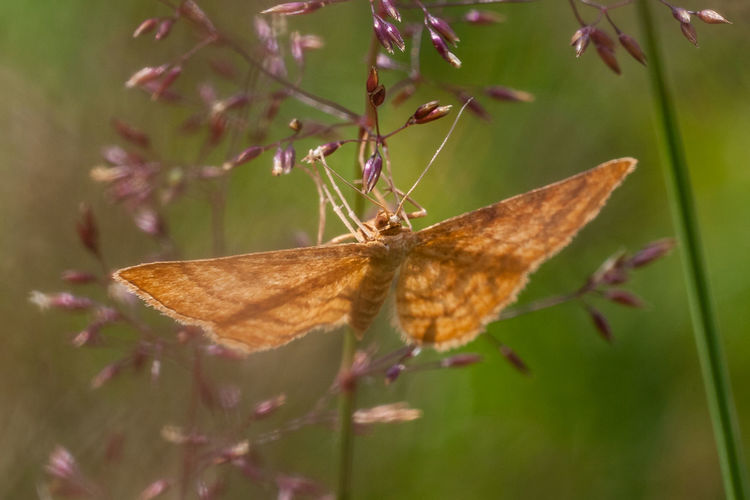 Violettroter Kleinspanner, Weinroter Triftenflurspanner, Rostspanner Rostspanner Weinroter Triftenflurspanner Animal Animal Themes Animal Wing Animals In The Wild Beauty In Nature Butterfly Butterfly - Insect Close-up Fragility Geometridae Insect Lepidoptera Nature No People One Animal Scopula Rubiginata Spread Wings Violettroter Kleinspanner Wild Animal