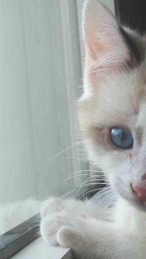 Bzbycat Sweet Babycat Blue Eyes Cat Lovers Close-up Eye4photography  EyeEm Gallery