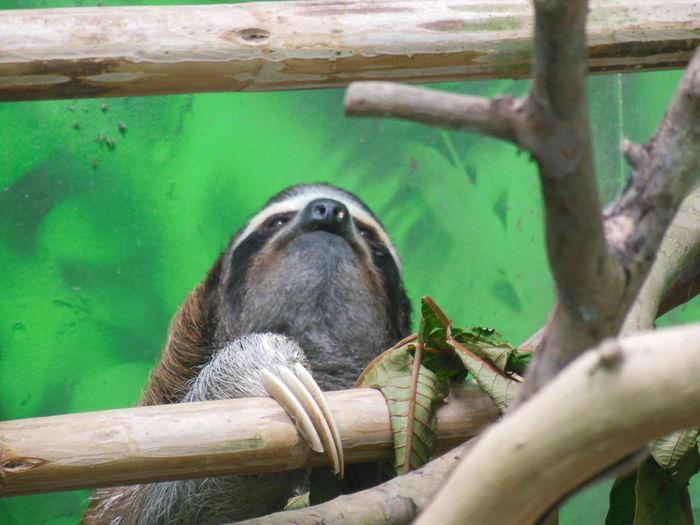 Close-up of sloth climbing on bamboo at zoo