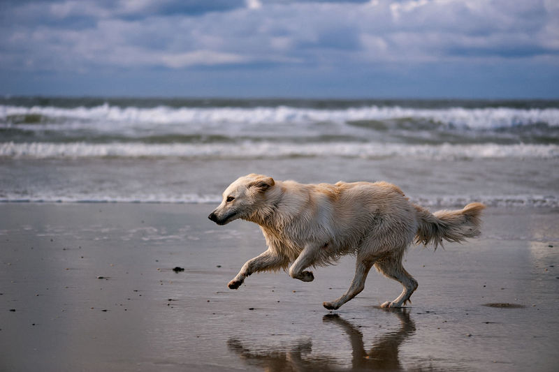 Dog running on beach against sky