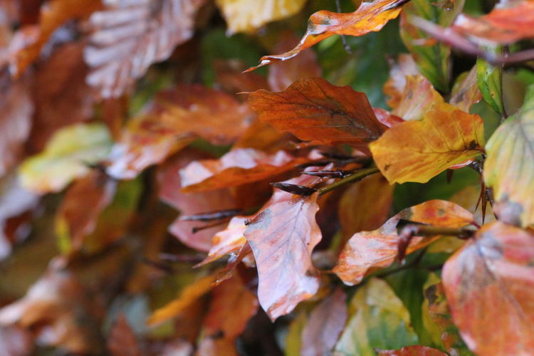 Hedgegerow Hedge Hedgerow Leaves Leaf Autumn Plant Part Change Close-up Beauty In Nature Plant Day No People Nature Orange Color Selective Focus Full Frame Vulnerability  Fragility Outdoors Dry Growth Tree Maple Leaf Autumn Collection Natural Condition Fall