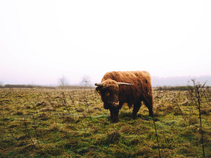 Highland cattle standing on field against clear sky