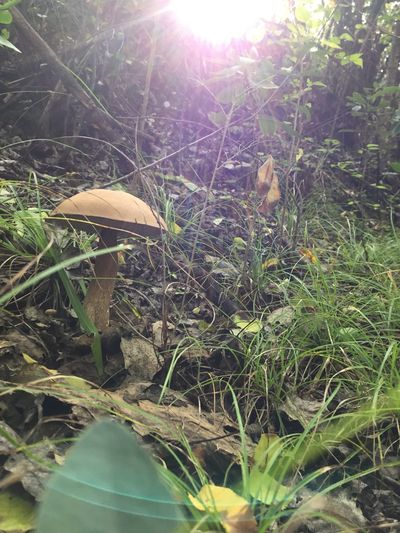 Plant Growth Nature Mushroom Land Fungus Sunlight No People Day Field Grass Beauty In Nature Tree Vegetable Green Color Outdoors Leaf Plant Part Toadstool Close-up Lens Flare