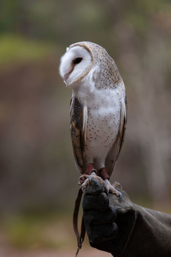 Bird Focus On Foreground Animal Wildlife Animals In The Wild One Animal Vertebrate Close-up Day Bird Of Prey Perching No People Owl Nature Outdoors Full Length Mouth Open Falcon - Bird Owls