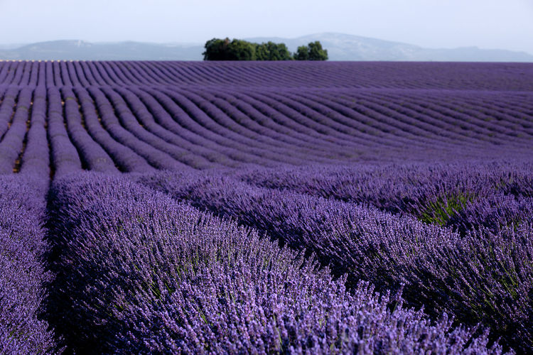 Purple perfect rows Agriculture Beauty In Nature Day Environment Farm Field Flower Flowerbed Flowering Plant Freshness Growth In A Row Land Landscape Lavender Lavender Colored Nature No People Outdoors Plant Purple Rural Scene Scenics - Nature