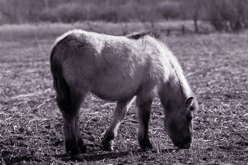Monochrome Purple Haze Konik Horse Field Mammal Animal Themes Domestic Animals Grazing No People