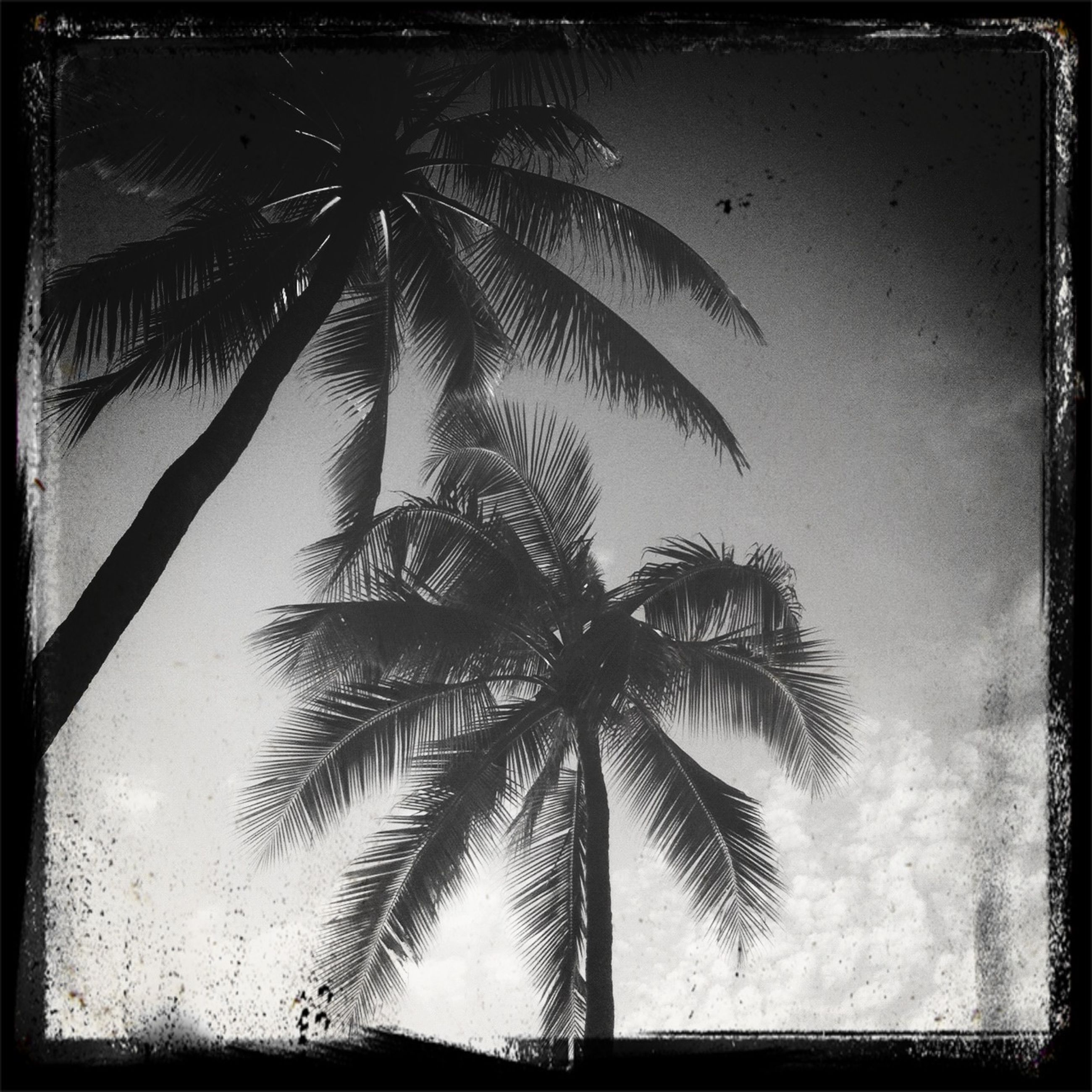 palm tree, transfer print, auto post production filter, tree, growth, low angle view, nature, sky, tree trunk, tranquility, beauty in nature, leaf, silhouette, palm leaf, branch, no people, day, outdoors, plant, sunlight