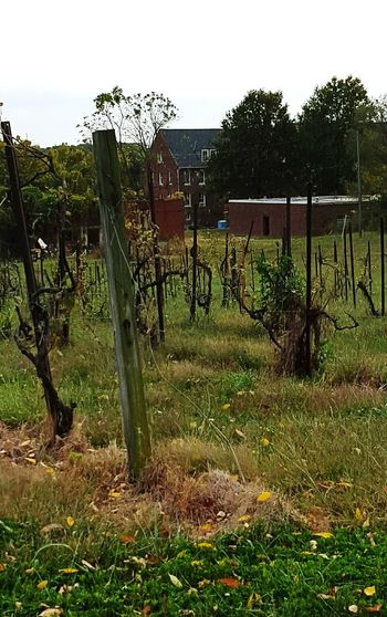 Abandoned Vineyard Harvested Fall Barrren Vintage Grapevine Backgrounds Eerie Scene