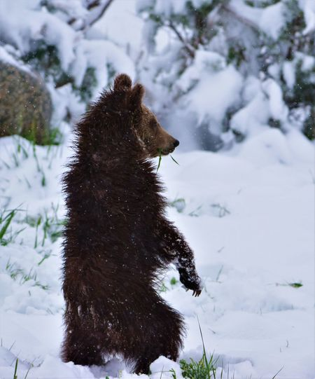 Animals In The Wild Bears Bears In The Wild Grizzlies Grizzly And Cubs Grizzly Bear Grizzly Cub Lamar Valley Ursus Arctos Ursus Arctos Horribilis Wildlife