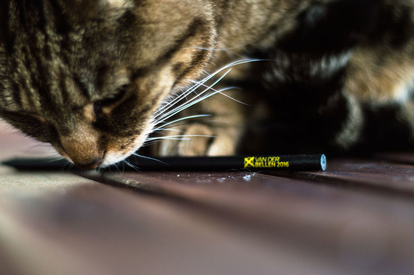 Cat playing with pencil Animal Themes Cat Cat Lovers Cats Cats Of EyeEm Cats 🐱 Cats4vdB Close-up Day Domestic Animals Domestic Cat Mammal One Animal Pets Tabby Cat Whisker