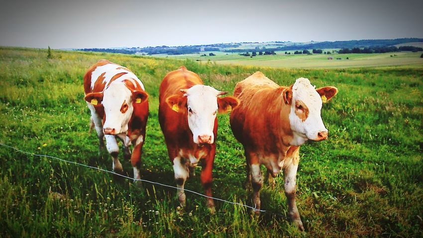 Have A Look Cows Nature Denmark The Portraitist - 2015 EyeEm Awards Taking Photos Collected Community