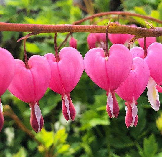 Bleeding Heart Flowers Beauty In Nature Close-up Day Flower Flower Head Flowering Plant Focus On Foreground Fragility Freshness Growth Inflorescence Land Nature No People Outdoors Petal Pink Color Plant Plant Stem Vulnerability
