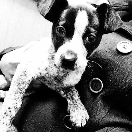 Lennox wanted a selfie! Pets Cutepets Blackandwhite