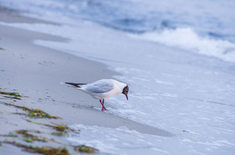 Side View Of Black-Headed Gull Perching On Shore At Beach