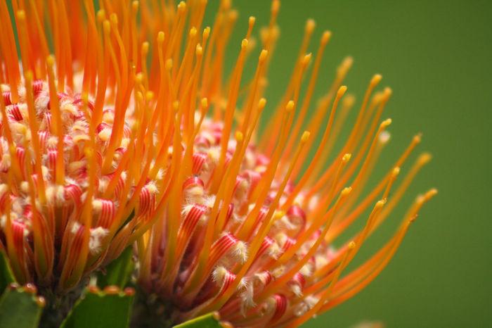 Protea Plant Flower Botany Botanical Garden Kirstenbosch Cape Town Macro Nophotoshop Believeitornot Believe Exotic Original Macro Photography Maximum Closeness