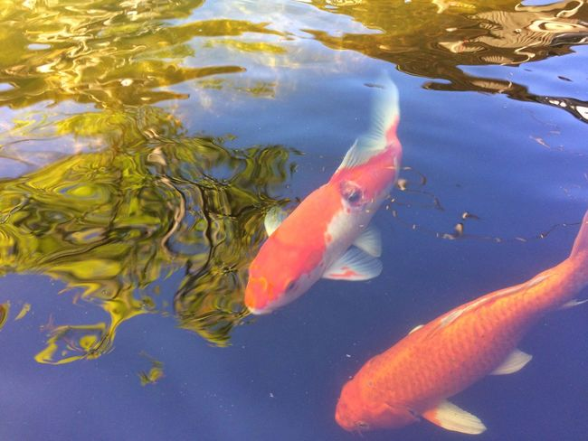 fancy carp fish in pool Colorful Colors Color Garden Nature Water Pool Animal Carp Fish Fancy Carp Fish Fancy Carp Water Swimming Fish Animal Themes High Angle View Animals In The Wild Carp Day Nature Outdoors