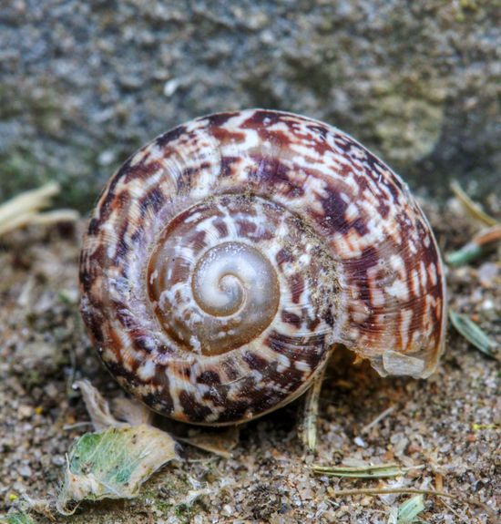 Animal Shell Animal Themes Close-up Focus On Foreground Mollusk Natural Pattern Nature Old Snail Shell Pattern Shell Snail Snail Shell Snail Shells Snail Shells Spiral Spiral In Nature Spiral Pattern Spirals