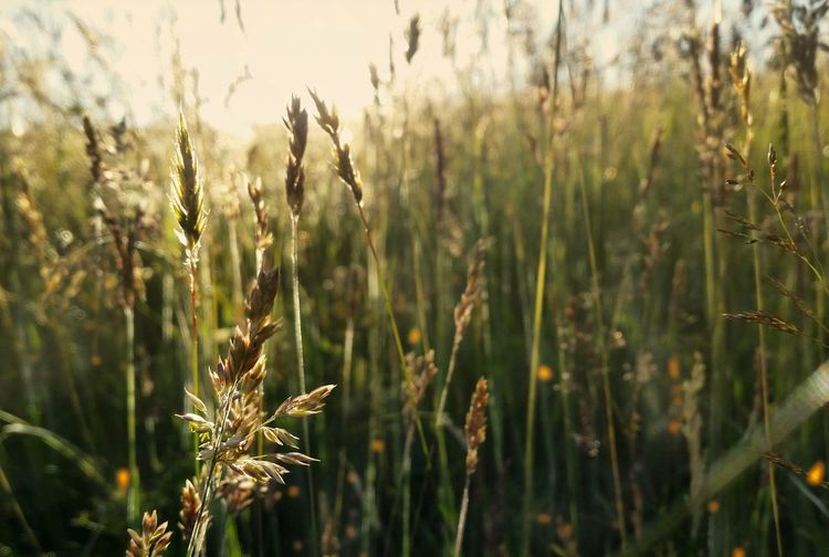 Sunset Quiet Places Country Life Countryside Silence Moment EyeEm Best Shots EyeEm Nature Lover Eyemphotography Cereal Plant Plant Agricultural Field Wheat Ear Of Wheat Barley Oat - Crop Blooming