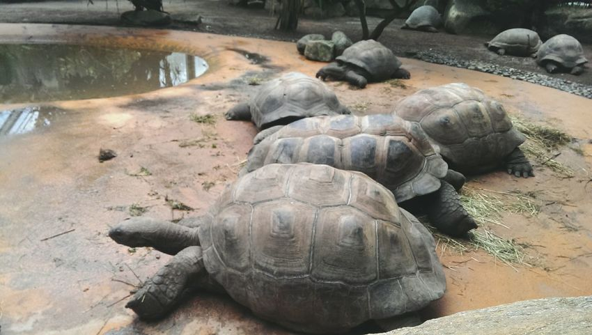 Turtles Turtle Love Zoo