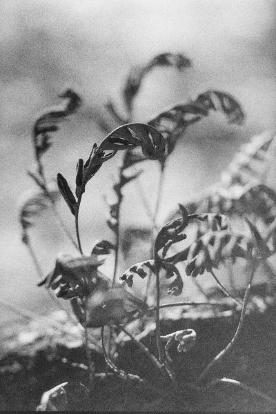 35mm Film Black And White Photography Caffenol Fern Film Nature