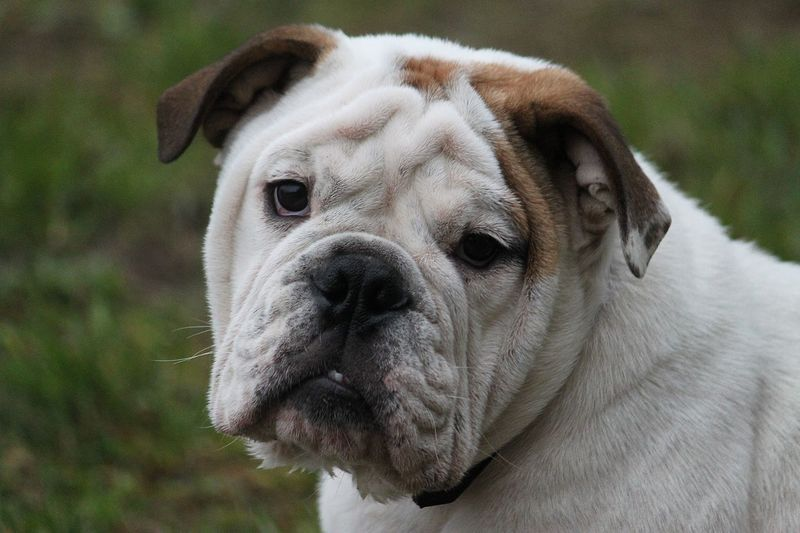 english bulldog portrait in the park English Bulldog EnglishBulldog EyeEm Pets Funny Looking At Camera Sitting Animal Themes Bulldog Francese Close-up Dog Domestic Animals Focus On Foreground Funny Faces Garden Headshot Mammal Nature One Animal Outdoors Pets Portrait
