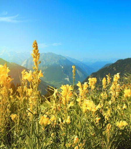Growth Nature Mountain Plant Beauty In Nature Tranquility Landscape Tranquil Scene Scenics Field No People Mountain Range Nature Switzerland Outdoors Yellow Day Clear Sky Sky Flower Freshness