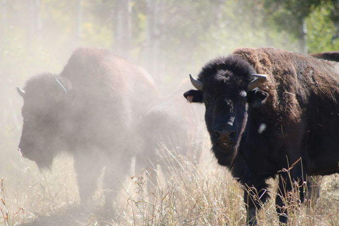 American Bison Animal Wildlife Animal Mammal Nature Animals In The Wild Natural Parkland Outdoors Day Buffalo Bison Dust Farm Ranch Close-up Portrait EyeEm Nature Lover Large Animal The Great Outdoors - 2018 EyeEm Awards