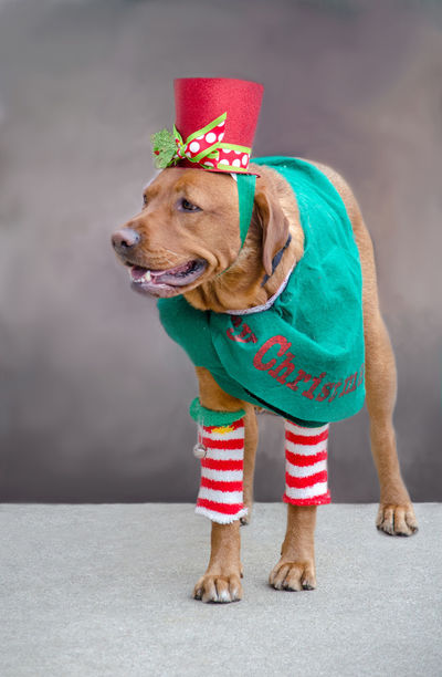 a dog is all dressed up for christmas but is actually ready for a holiday pet parade Dogs Hat Leg Warmers Animal Themes Canine Celebration Christmas Close-up Costume Day Dog Domestic Animals Full Length Gray Background Indoors  Mammal No People One Animal Pet Clothing Pet Parade  Pets Portrait Wearing