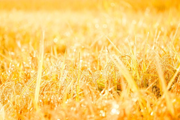 EyeEmNewHere Harvest Rice Field EyeEm Selects Plant Growth Field Agriculture Land Beauty In Nature Sunlight
