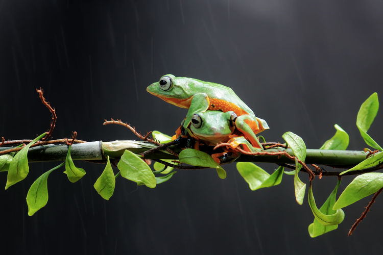 tree frogs on twigs Animal Animal Themes Animal Wildlife Animals In The Wild Vertebrate Plant One Animal Green Color Plant Part Leaf Reptile Nature No People Tree Branch Lizard Close-up Focus On Foreground Outdoors Chameleon Amphibian Iguana Animal Head