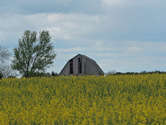Old Barns Landscapes Plant Yellow Field Land Landscape Growth Agriculture Sky Farm Beauty In Nature Cloud - Sky Rural Scene Tree Nature Flower Flowering Plant Architecture Built Structure Environment Tranquility No People Outdoors