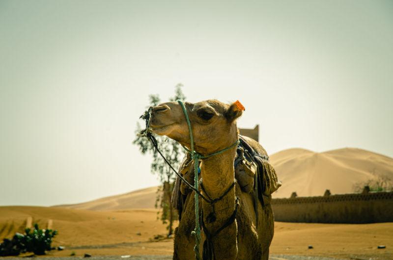 Caravan of camels in merzouga sahara desert on morocco ,dromedary camel in sahara desert,