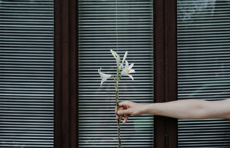 Cropped hand of woman holding flower against window