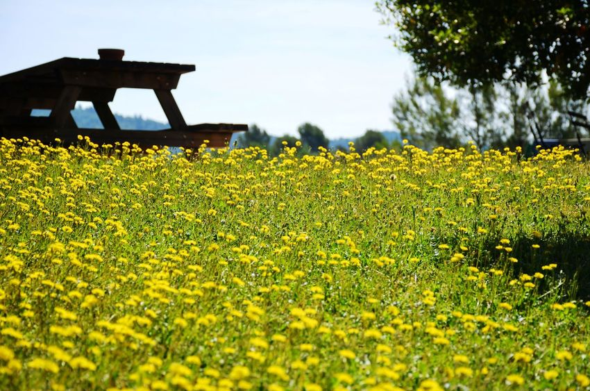 Springtime in the Catalan Countryside Inspiration Beautiful Beautiful Nature Nature Spring Springtime Plant Field Yellow Flower Land Growth Flowering Plant Beauty In Nature Landscape Rural Scene Freshness Day Environment No People Oilseed Rape Tranquility Scenics - Nature Outdoors Flowerbed