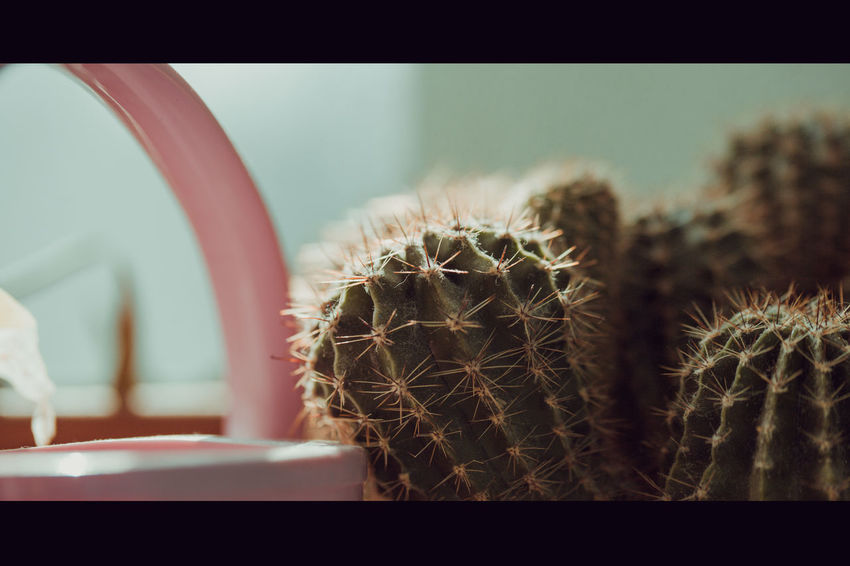 Cactus in the web, on the old windowsill Natural Beauty In Nature Cactus Close-up Codweb Day Indoors  Nature No People Plant Potted Plant Selective Focus Succulent Plant Top View Transfer Print Web Windowsill
