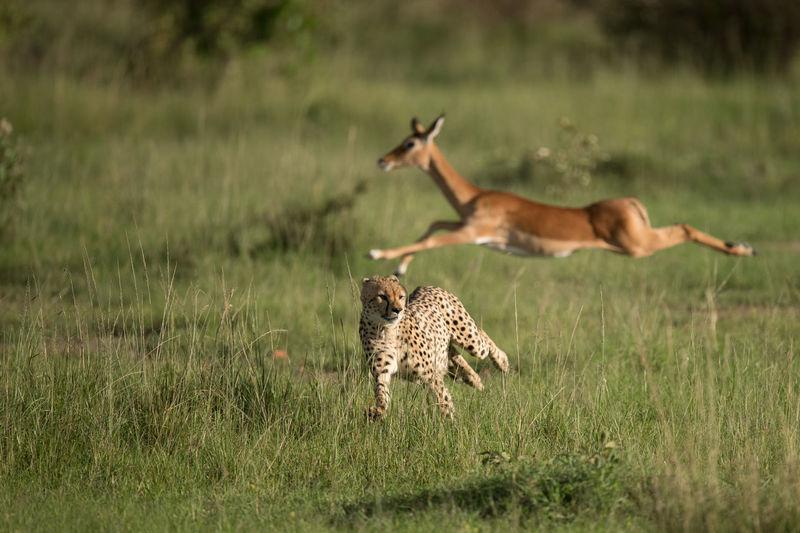 Giraffe running on field