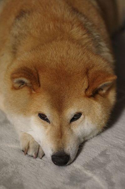 上目づかい❤ One Animal No People Dog Dog❤ Dog Life しばいぬ しば 柴犬 柴犬ハチ