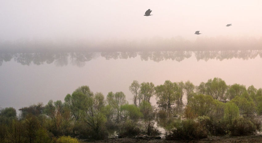 Russia, Oka river, fog, early morning Russia Animal Animal Themes Animal Wildlife Animals In The Wild Beauty In Nature Bird Flying Fog Foggy Day Foggy Morning Group Of Animals Lake Nature No People Oka River Outdoors Plant Scenics - Nature Tranquil Scene Tranquility Tree Vertebrate Water
