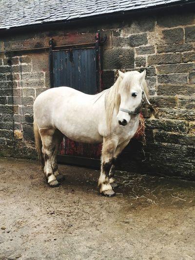Highland Pony Horse Animal Themes Mammal One Animal Pets Day No People