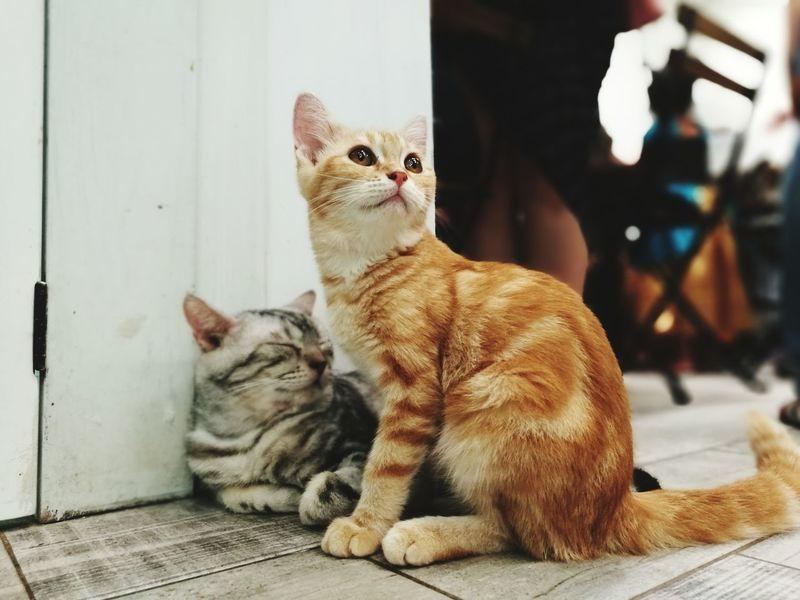 Cat Pets Domestic Cat Animal Cute Cat Lover Animal Themes