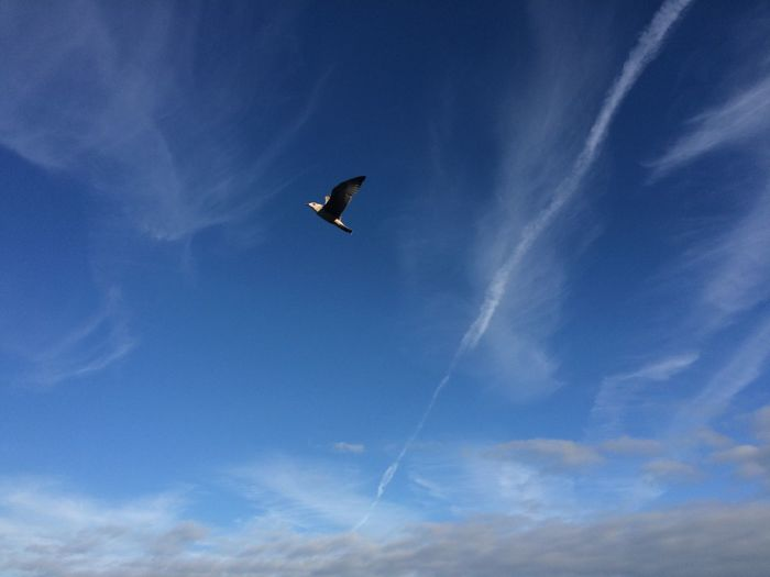 Bird in the air Animal Themes Animals In The Wild Bird Blue Cloud - Sky Day Flying Flying Creatures Low Angle View Nature One Animal Outdoors Seagull Sky Spread Wings