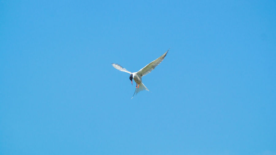 Low angle view of seagull flying in blue sky