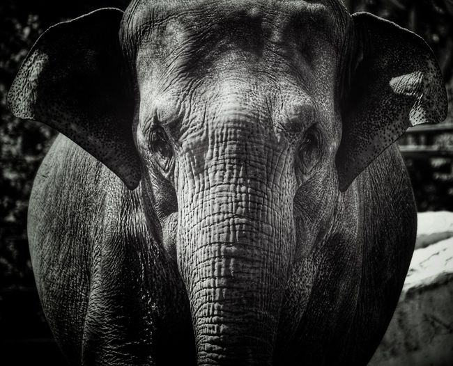 Zoo 2019 Niklas Storm Juli Animal Trunk African Elephant Elephant Portrait Safari Animals Tusk Indian Elephant Ear Looking At Camera Close-up Animal Eye Animal Ear Animal Body Part Large Animal Head  HEAD Animal Mouth Animal Skin Eye My Best Photo
