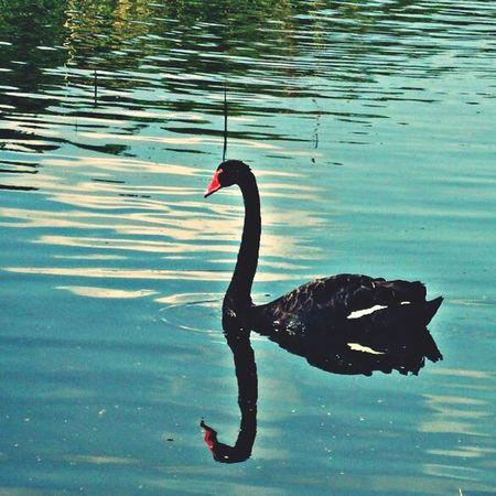 Black Swan Swan