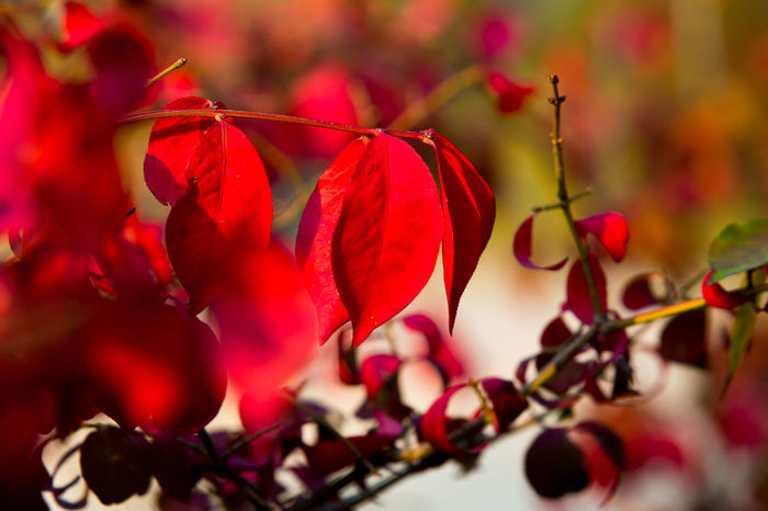 Beautyful autumn leaves in Korea. Autumn Autumn Leaves Colourful Korea Parthenocissus Beauty In Nature Blooming Bougainvillea Branch Close-up Colours Of Nature Day Fall Flower Flower Head Focus On Foreground Fragility Freshness Growth Nature No People Outdoors Petal Plant Red