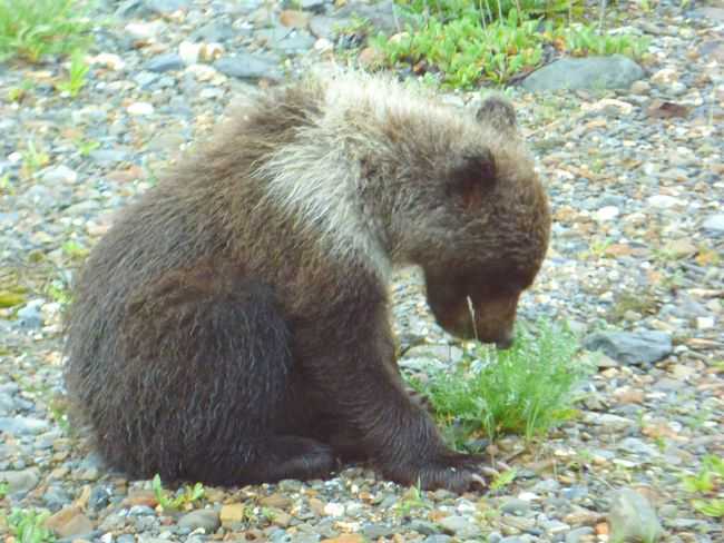 Alaska Denali National Park Grizzly Bear Bear Cub