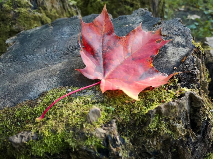 Close-up of maple leaf on rock