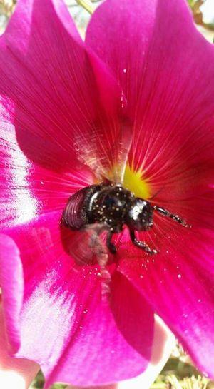 Violet Pink Flower Pink Black Bee Bee Pollen Flower
